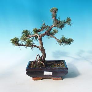 Vonkajšie bonsai - Pinus mugo Humpy - Borovica Marhuľa