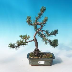Venkovní bonsai - Pinus mugo Humpy  - Borovice kleč
