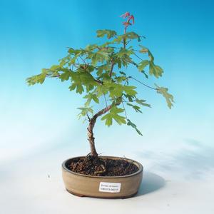 Vonkajšia bonsai-Acer campestre-Javor poľný
