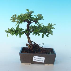 Vonkajšia bonsai-Pyracanta Teton -Hlohyně