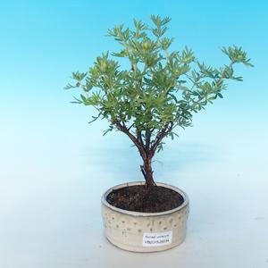 Vonkajšia bonsai-Nátržník krovitá - Dasiphora fruticosa žltá