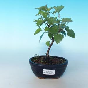 Vonkajšie bonsai - Betula verrucosa - Breza previsnutá