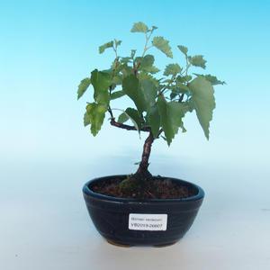 Venkovní bonsai - Betula verrucosa - Bříza bělokorá