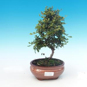 Venkovní bonsai-Cotoneaster horizontalis-Skalník
