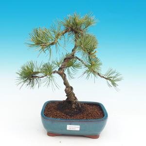 Pinus parviflora - Borovice drobnokvětá