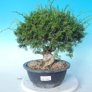 Vonkajšie bonsai - Juniperus chinensis Itoigawa - Jalovec čínsky
