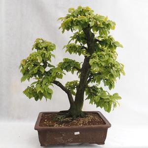 Venkovní bonsai - Habr obecný - Carpinus betulus VB2019-26689