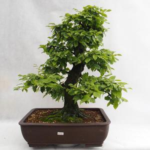 Venkovní bonsai - Habr obecný - Carpinus betulus VB2019-26690