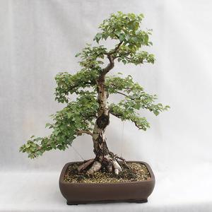 Venkovní bonsai - Betula verrucosa - Bříza bělokorá  VB2019-26695
