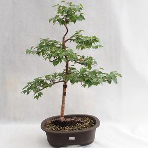 Venkovní bonsai - Betula verrucosa - Bříza bělokorá  VB2019-26696