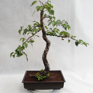 Venkovní bonsai - Betula verrucosa - Bříza bělokorá  VB2019-26697