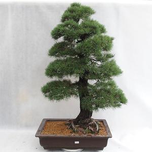 Venkovní bonsai - Pinus sylvestris - Borovice lesní VB2019-26699