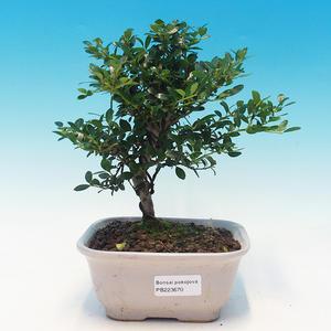 Izbová bonsai - Cezmína