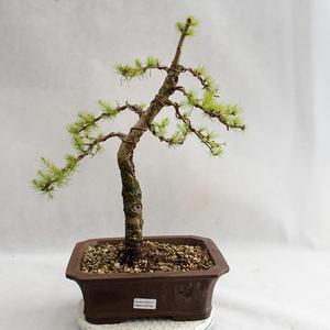 Vonkajší bonsai -Larix decidua - Smrekovec opadavý VB2019-26702
