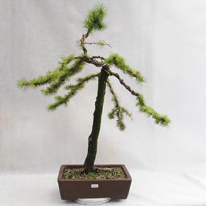 Vonkajší bonsai -Larix decidua - Smrekovec opadavý VB2019-26704