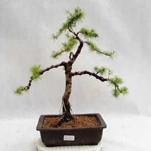 Vonkajší bonsai -Larix decidua - Smrekovec opadavý VB2019-26707