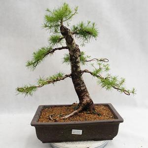 Vonkajší bonsai -Larix decidua - Smrekovec opadavý VB2019-26708