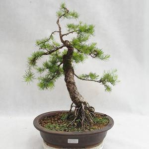 Venkovní bonsai -Larix decidua - Modřín opadavý VB2019-26709