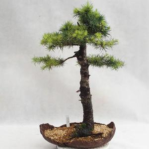 Vonkajší bonsai -Larix decidua - Smrekovec opadavý VB2019-26710