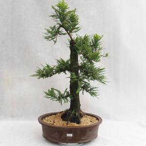 Vonkajšie bonsai - Metasequoia glyptostroboides - Metasekvoja Čínska malolistá VB2019-26711