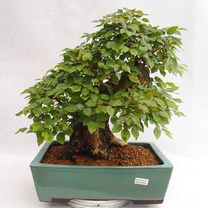 Venkovní bonsai - Habr korejsky - Carpinus carpinoides VB2019-26715