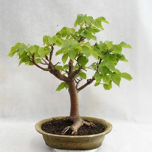 Vonkajšie bonsai - Lipa malolistá - Tilia cordata 404-VB2019-26717
