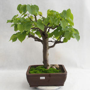 Vonkajšie bonsai - Lipa malolistá - Tilia cordata 404-VB2019-26718