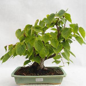 Vonkajšie bonsai - Lipa malolistá - Tilia cordata 404-VB2019-26719