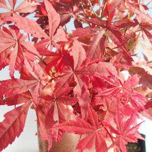 Vonkajšie bonsai - Acer palm. Atropurpureum-Javor dlaňolistý červený 408-VB2019-26725