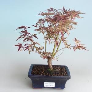 Vonkajší bonsai -Javor dlaňovitolistý Acer palmatum Butterfly 408-VB2019-26729