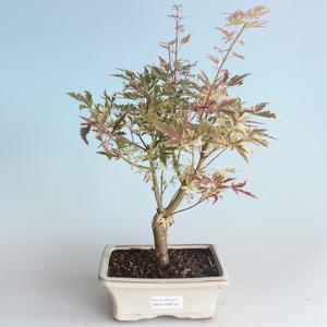 Vonkajší bonsai -Javor dlaňovitolistý Acer palmatum Butterfly 408-VB2019-26730