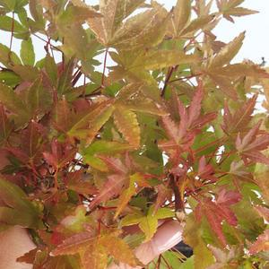 Vonkajšie bonsai - Acer palmatum Beni Tsucasa - Javor dlaňolistý 408-VB2019-26736