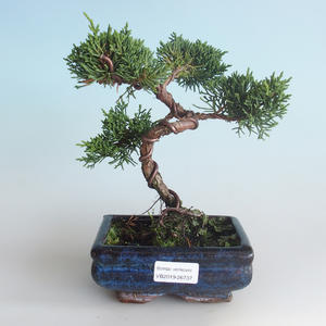 Venkovní bonsai - Juniperus chinensis -Jalovec čínský 408-VB2019-26737