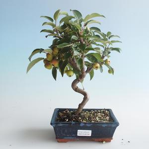 Vonkajšie bonsai - Malus halliana - Maloplodé jabloň 408-VB2019-26749