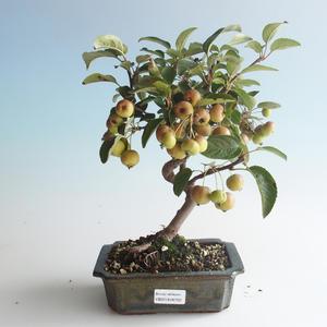 Venkovní bonsai - Malus halliana -  Maloplodá jabloň 408-VB2019-26750