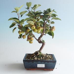Vonkajšie bonsai - Malus halliana - Maloplodé jabloň 408-VB2019-26752