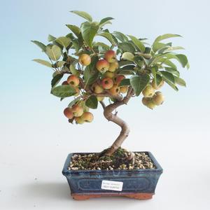 Vonkajšie bonsai - Malus halliana - Maloplodé jabloň 408-VB2019-26754