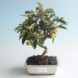 Vonkajšie bonsai - Malus halliana - Maloplodé jabloň 408-VB2019-26755
