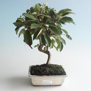 Vonkajšie bonsai - Malus halliana - Maloplodé jabloň 408-VB2019-26756