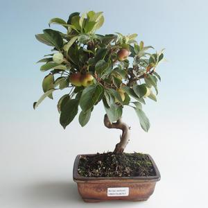 Vonkajšie bonsai - Malus halliana - Maloplodé jabloň 408-VB2019-26757