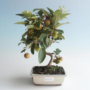 Vonkajšie bonsai - Malus halliana - Maloplodé jabloň 408-VB2019-26758