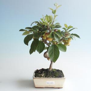 Vonkajšie bonsai - Malus halliana - Maloplodé jabloň 408-VB2019-26759