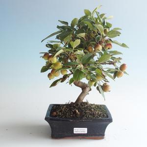 Vonkajšie bonsai - Malus halliana - Maloplodé jabloň 408-VB2019-26765