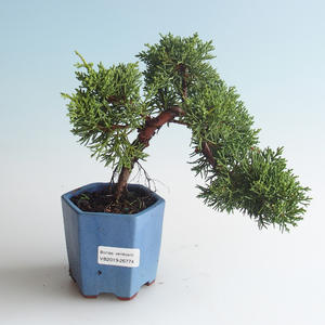 Venkovní bonsai - Juniperus chinensis -Jalovec čínský 408-VB2019-26774