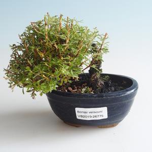 Venkovní bonsai-Mochna křovitá - Dasiphora fruticosa žlutá 408-VB2019-26775