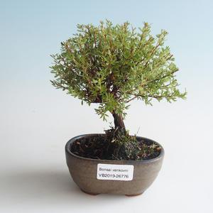 Venkovní bonsai-Mochna křovitá - Dasiphora fruticosa žlutá 408-VB2019-26776