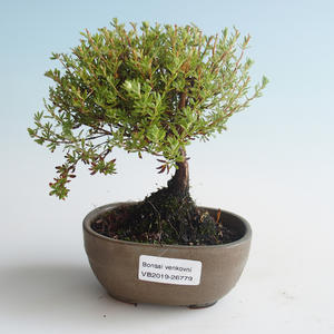 Venkovní bonsai-Mochna křovitá - Dasiphora fruticosa žlutá 408-VB2019-26779