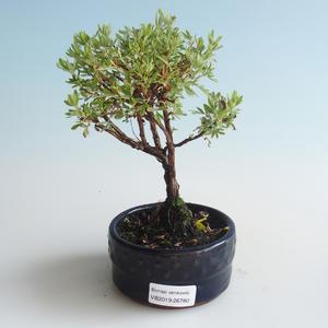 Venkovní bonsai-Mochna křovitá - Dasiphora fruticosa žlutá 408-VB2019-26780