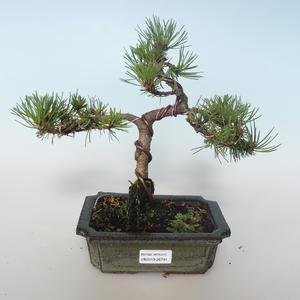 Vonkajšie bonsai - Pinus mugo Humpy - Borovica Marhuľa 408-VB2019-26791