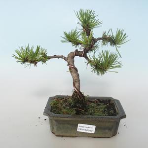 Vonkajšie bonsai - Pinus mugo Humpy - Borovica Marhuľa 408-VB2019-26792